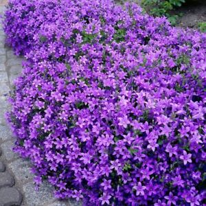 Looking for perennial ground cover