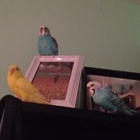 Yellow Budgie and Two Cages