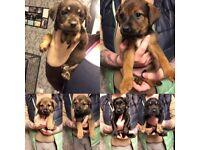 Lab cross pups! Reduced price!