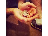 2 miniature male roborovski Hamsters