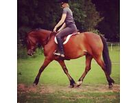 13.2 Part Bred New Forest for loan