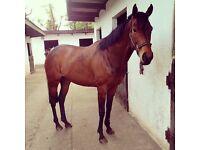 Beautiful TB mare for sale