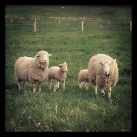 ** Raw sheep wool available **