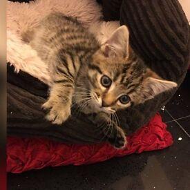 Kitten 4 months old litter trained