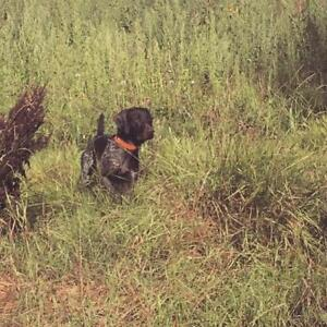 POINTER PUPPIES LOOKING FOR THEIR FOR EVER HOMES