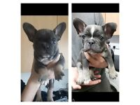 FOR SALE *Blue and tan French bull dog*