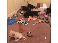 ***UPDATE: 2 LEFT*** FREE LABRADOR PUPPIES NEED GOOD HOME SERIOUS ENQUIRIES ONLY