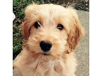 Gorgeous Cockapoo girl puppy , 6 months old, non moulting/shredding & fully toilet trained