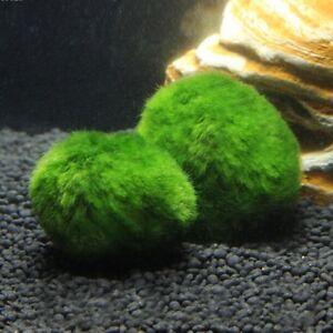 Marimo Aquarium Moss Ball Live Plant Free Shipping