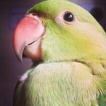 Indian Ringneck Parrot Wolvi Gympie Area Preview