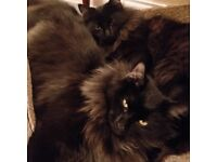 two black very furry 8mth cats