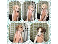Sulki x whippet puppies for sale