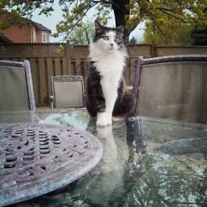 MISSING CAT IN RICHMOND HILL
