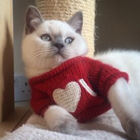 British Shorthair Kittens (Ready now)