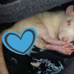 ISO: female rat to breed with my male