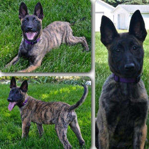 ISO Belgian Malinois pup or belgian x. Ready by April-June 2018