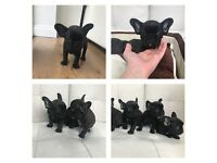 KC French Bulldog Puppies Triple Carriers Lilac & Tan