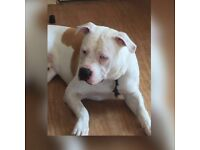 American bulldog 11 months old papers