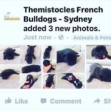 French Bulldog Puppies (males three available) Cronulla Sutherland Area Preview