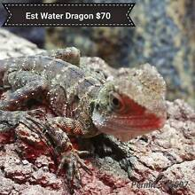 Hatchling Eastern Water Dragons Kilburn Port Adelaide Area Preview