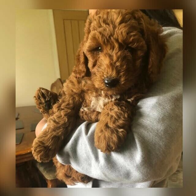 Beautiful Red Mini Labradoodle for sale | in Wolverhampton, West Midlands |  Gumtree