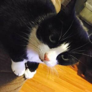 missing  cat female black and white with her left ear clipped