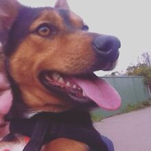 MISSING! Kelpie x jack russle dog Bathurst Bathurst City Preview