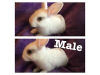 4gorgeous baby's bunny for sale / 3 left