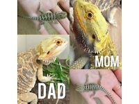 Bearded Dragons *offers invited*