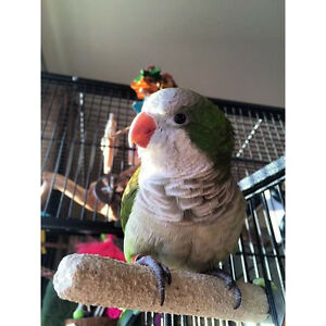 Quaker Parrot with all belongings