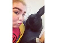 Missing Mini Lop Black Female Rabbit!!