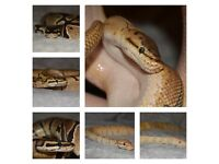 Ball Python / Royal Pythons for sale - OFFERS ACCEPTED