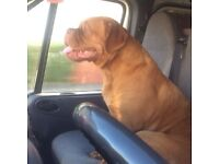 Dogue de Bordeaux female 1 year old fully KC