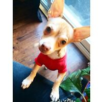 1 year old handsome Male Chihuahua