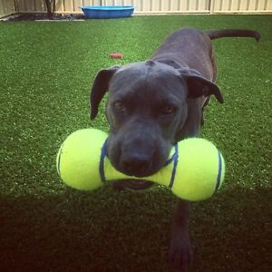 Purebred American Staffy Banksia Grove Wanneroo Area Preview