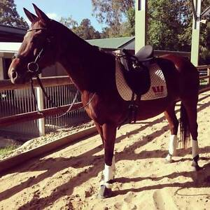 """Thoroughbred Mare For Sale - """"Mocha"""" Bundall Gold Coast City Preview"""