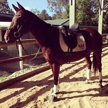 "Thoroughbred Mare For Sale - ""Mocha"" Bundall Gold Coast City Preview"