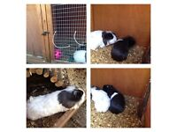 Two friendly Guinea Pigs & Hutch, Water Bottles & Toys