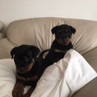 German blood line Rottiweller Puppies ready for a family! Austral Liverpool Area Preview