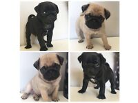 Pug puppies for sale - Ready to leave 30th July