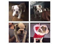 Old English Bulldog Puppies - Bullstopper Bella X McMillans Charlie