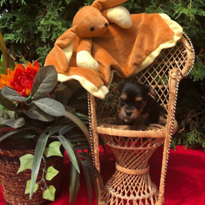 Yorkshire Terrier | Adopt Dogs & Puppies Locally in Ontario | Kijiji