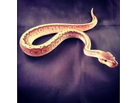 Baby Male Pinstripe Royal Python