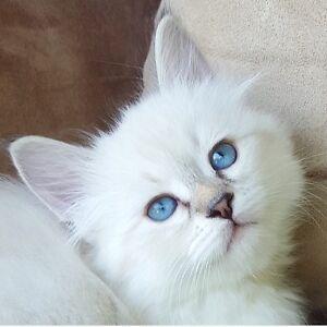 Registered hypoallergenic Siberian Forest Cat kittens