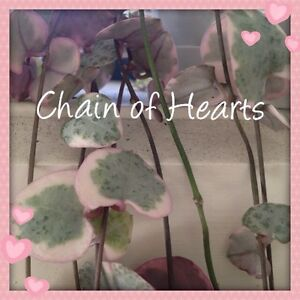 CHAIN OF HEARTS!  Indoor plant HARD TO FIND! Norwood Launceston Area Preview