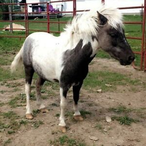 Very tiny Mini gelding for sale