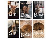 4x Chihuahua puppies
