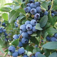 BLUEBERRIES - ORDER NOW - PICKED FRESH DAILY