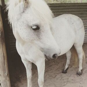 Welsh pony for sale Mandalong Lake Macquarie Area Preview