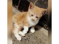 Kitten ginger female